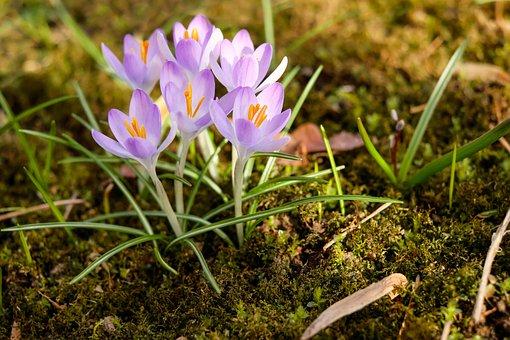 Herbstzeitlose, Flower, Blossom, Bloom, Flowers