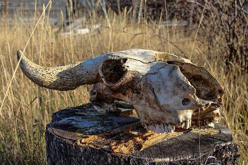 Old, Skull, Cow, October, Skeleton, Vintage, Bone