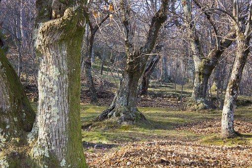 Forest, Landscape, Chestnut, Mountain, Nature, Trees