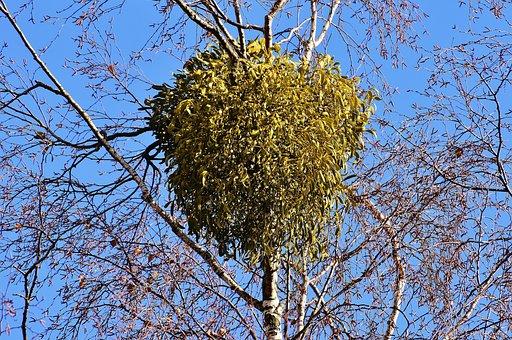 Mistletoe, Viscum Album, Tufts, Crown, Plant, Aesthetic