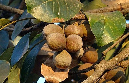 Fruit, Nut, Dried, Wild, Sahyadri, Western Ghats, Flora