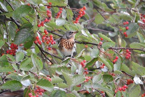 Turdus Pilaris, Thrush, Fieldfare, Songbird