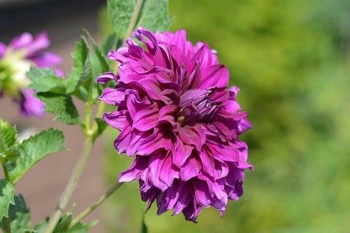 Dahlia, Flower, Purple, Purple Flower, Nature, Close