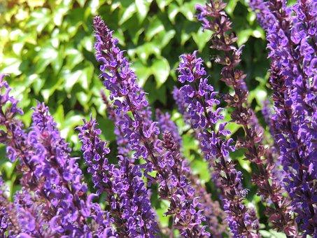 Lavender, Purple, Flower, Flowers, Nature, Garden