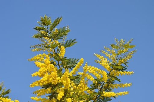 Mimosa, Flowers, Yellow, Yellow Flower, France, Garden