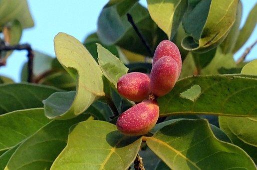 Fruit, Chebulic Myrobalan, Myrobalan, Haritaki