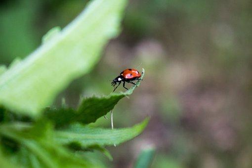 Ladybug, Nature, Spring, Natural, Summer, Insect