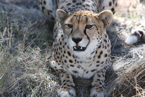Cheetah, Predator, Namibia, Wild, Nature, Wilderness