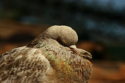 Pigeon, Innocent Birds, Sleep Time