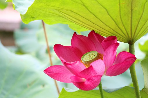 Lotus, Rain, Hongluosi