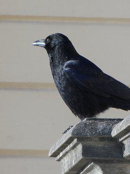 Crow, Raven Bird, Black, Songbird, Rook, Sparrow Bird