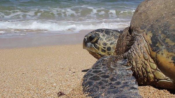 Turtle, Hawaii, Sea, Ocean, Reptile, Animal, Wildlife