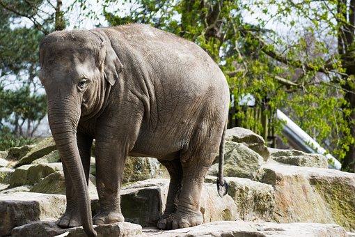 Elephant, Zoo Emmen, Zoo, Animal, Hard, Cute, Africa