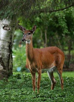 Deer, Summer, Nature, Wildlife, Animal, Forest, Outdoor