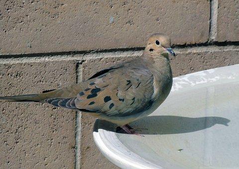 Morning Dove, Dove, Desert Dove, Bird, Wildlife, Animal