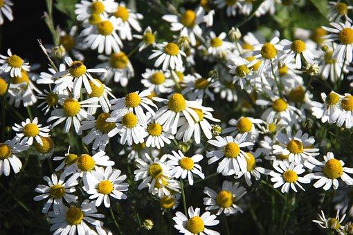 Flowers, False Chamomile, Plant