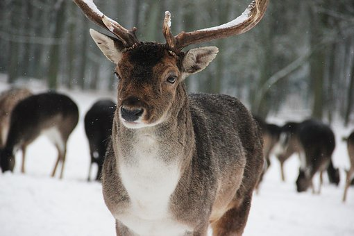 Forest, Wild, Deer, Hirsch, Wildlife Park, Free Running