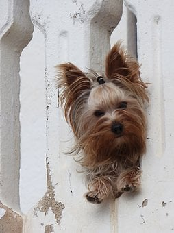Dog, Yorkshire Terrier, Have A Look, Pet