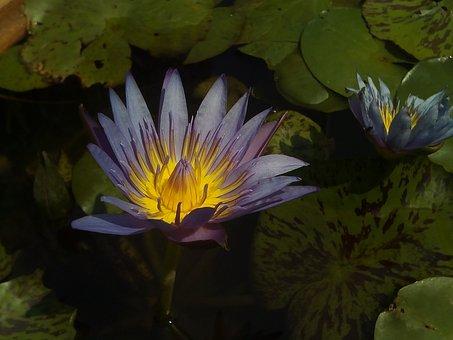 Lotus, Lotus Leaf, Nature, Lotus Basin, Water Plants