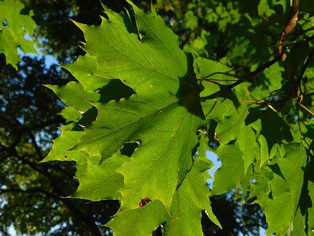 Maple, Maple Leaves, Leaf Veins, Leaf Buds, Vein