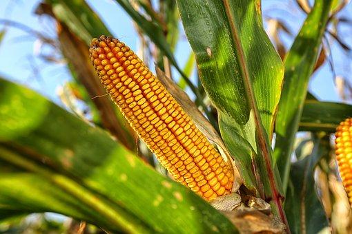 Corn On The Cob, Nature, Crop