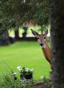 Deer, Woods, Animal, Wildlife, Nature, Outdoors, Summer