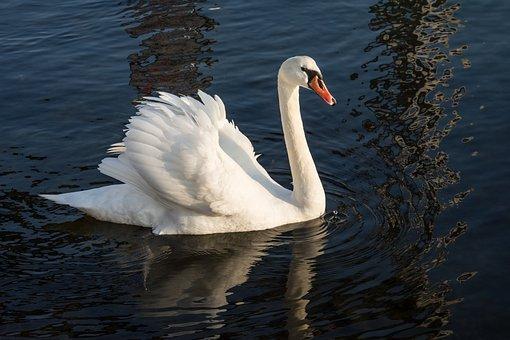 Swan, Sea, Nature, Water, Lake, Bird, White, Wildlife