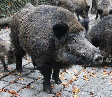 Boar, Wild, Wildlife Park