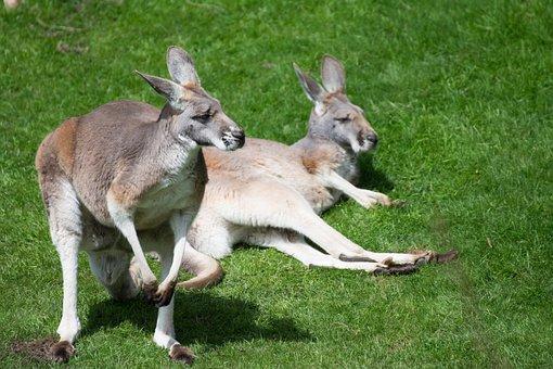 Marsupial, Zoo, Kangaroos, Nature, Sweet