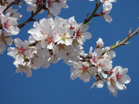 Almond Flower, Almond Tree, Flowery Branch, Sky