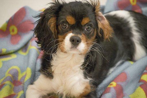 Dog, Cavalier King, Puppy, Charles Spaniel, Animal