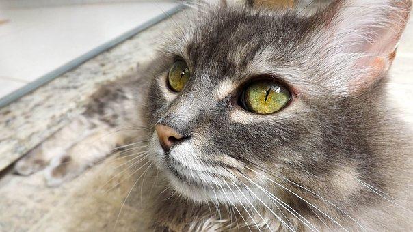 Cat, Animal, Domestic, Feline, Eyes, Hairy
