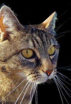 Cat, Mieze, Animals, Cat's Eyes, Portrait, Mackerel