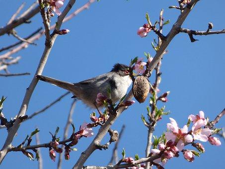 Sardinian Warbler, Tallarol Capnegre, Bird