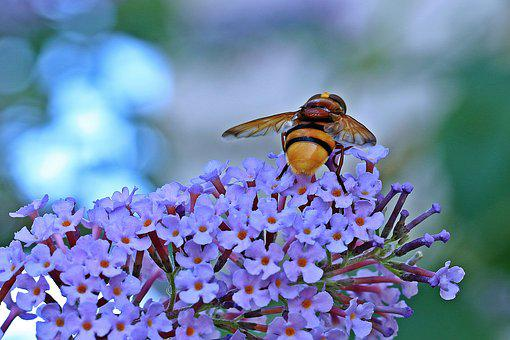 Osa, Insect, Kid Stories, Butterfly Bush, Closeup