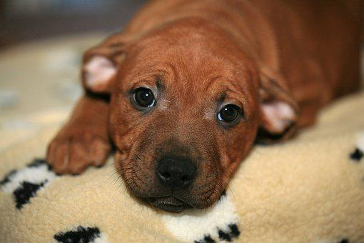 Puppy, Young, Staffordshire, Dog, Animal, Pet, Canine