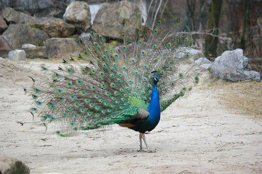 Peacock, Bird, Animal, Feather, Colorful, Green, Blue