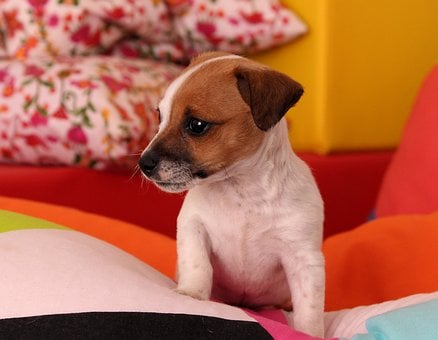 Dog, Puppy, Jack Russell, Chihuahua, Baby, Cute