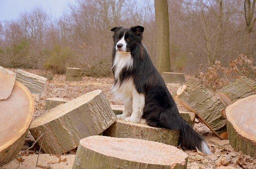 Dog, Border Collie, British Sheepdog, Herding Dog