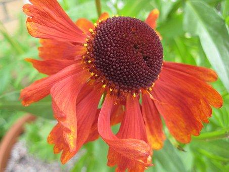 Sneezeweed, Helenium Moerheim Beauty, Flower, Blossom