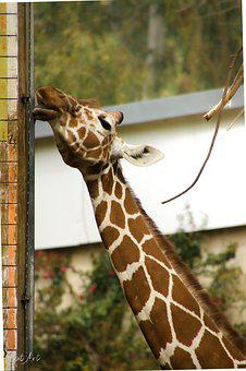 Animal, Tall, Nature, Zoo, Neck, Giraffe, High, Giraffa