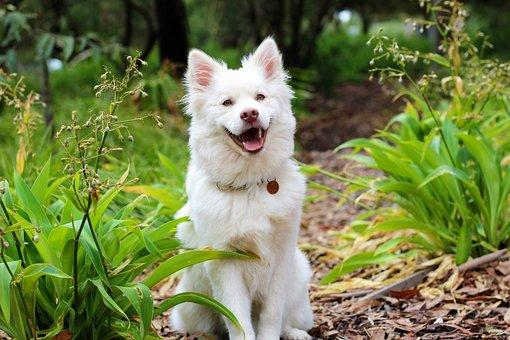 Dog, Puppy, Lapphund, Love, Cute, Baby, White, Cream
