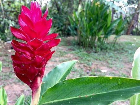 Flower, Floral, Red, Leaf, Foliage, Ginger, Tropical