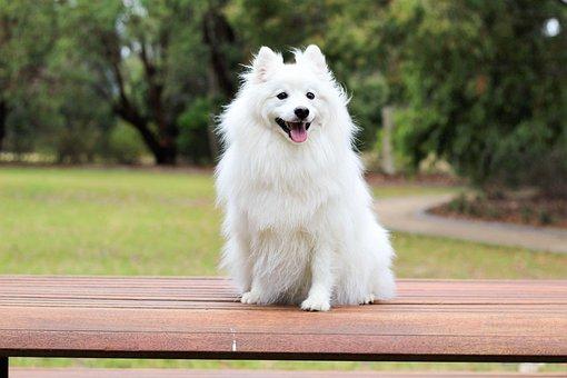 Dog, Puppy, Spitz, Love, Cute, Baby, White, Cream