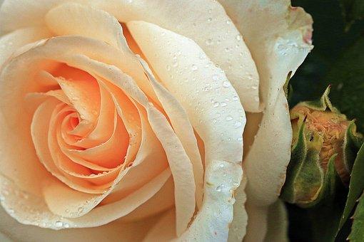 Rose, Rose Tea, Rose Flower, Rose Petals, Orange