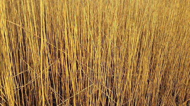 Reed, Schilfrohrhewaechs, Bank, Shore Plant, Lake