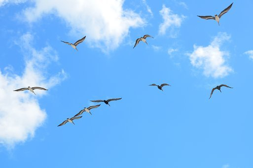 Seagulls, Flying, Gull, Bird, Avian, Flight, Sky