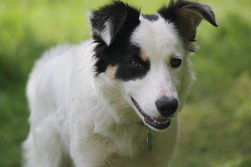 Dog, Sheepdog, Collie, Border Collie, White, Shepherd