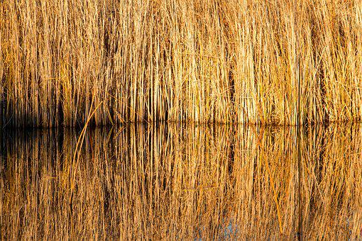 Reed, Pond, Yellow, Winter, Autumn, Water, Nature