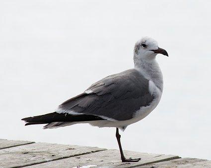 Seagull, Bird, White, Gull, Sea, Pier, Wildlife, Wild